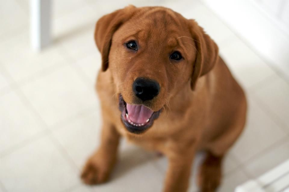 Gus Our Fox Red Labrador From Keepsake Labradors 3 Months Old
