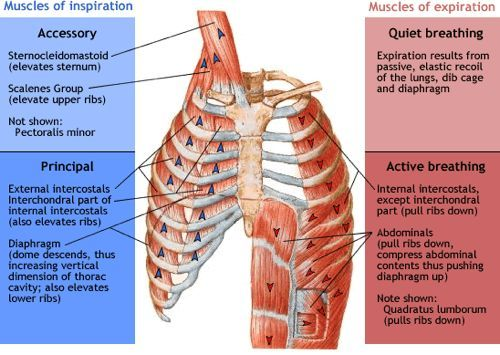 The Pectoralis Minor, King of Compensation Muscles, Insomnia and - muscle chart template