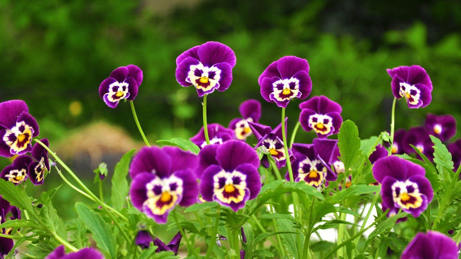 """Résultat de recherche d'images pour """"violettes"""""""