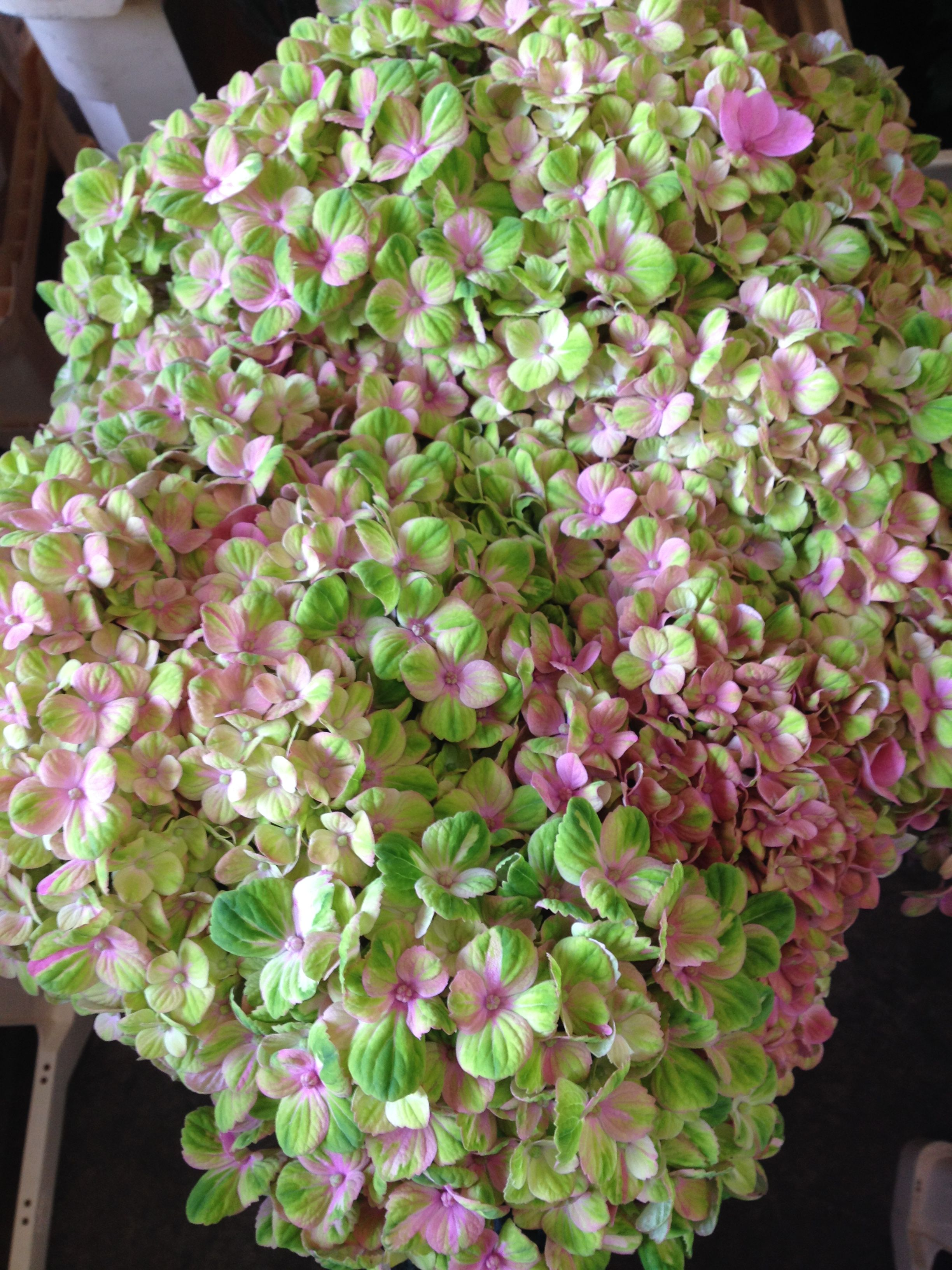 Hyrangea magical coral sold in bunches of 10 stems from