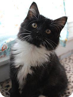 St. Louis, MO - Domestic Mediumhair. Meet Braeburn a Kitten for Adoption.