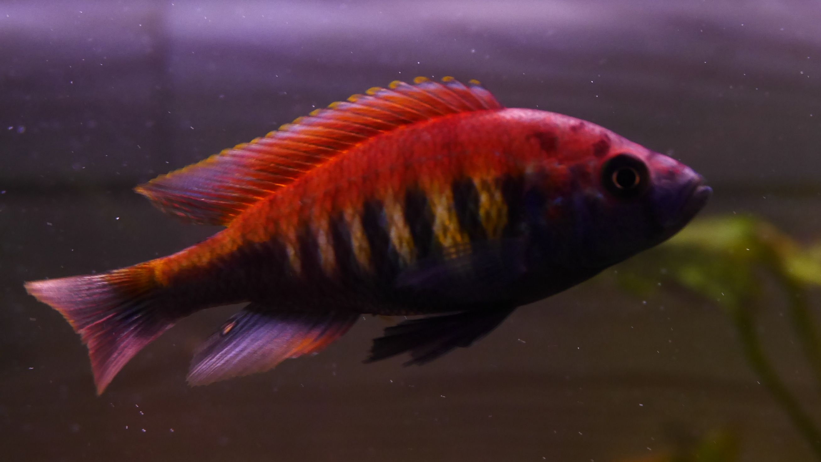 Pundamilia nyererei, one of the most colorful cichlids of Lake ...