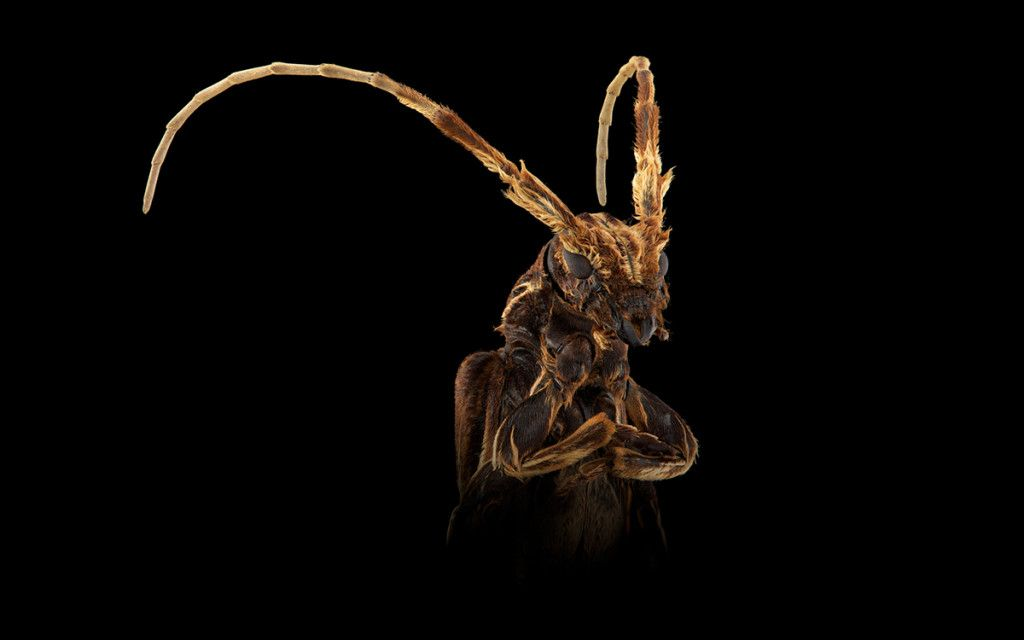 Insects Don't Get No Respect. Bring in the Glamour Shots!   'Xylor,' <em>Xylorhiza adusta</em>, Southeast Asian   Credit: Pascal Goet   From Wired.com