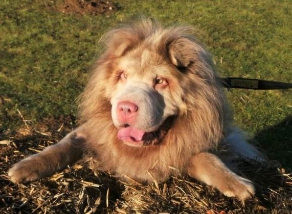 Murphy A Long Haired Bear Coat Shar Pei Looks Like A Lion Dogs Dogs Trust Dogs For Adoption Uk