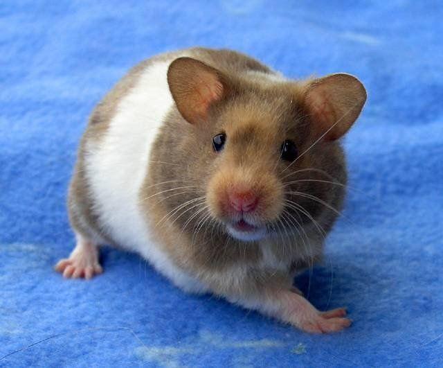 Oelegia Hamsteri Syyrialainen Petsie Syrian Hamster Super Cute Animals Cute Animals