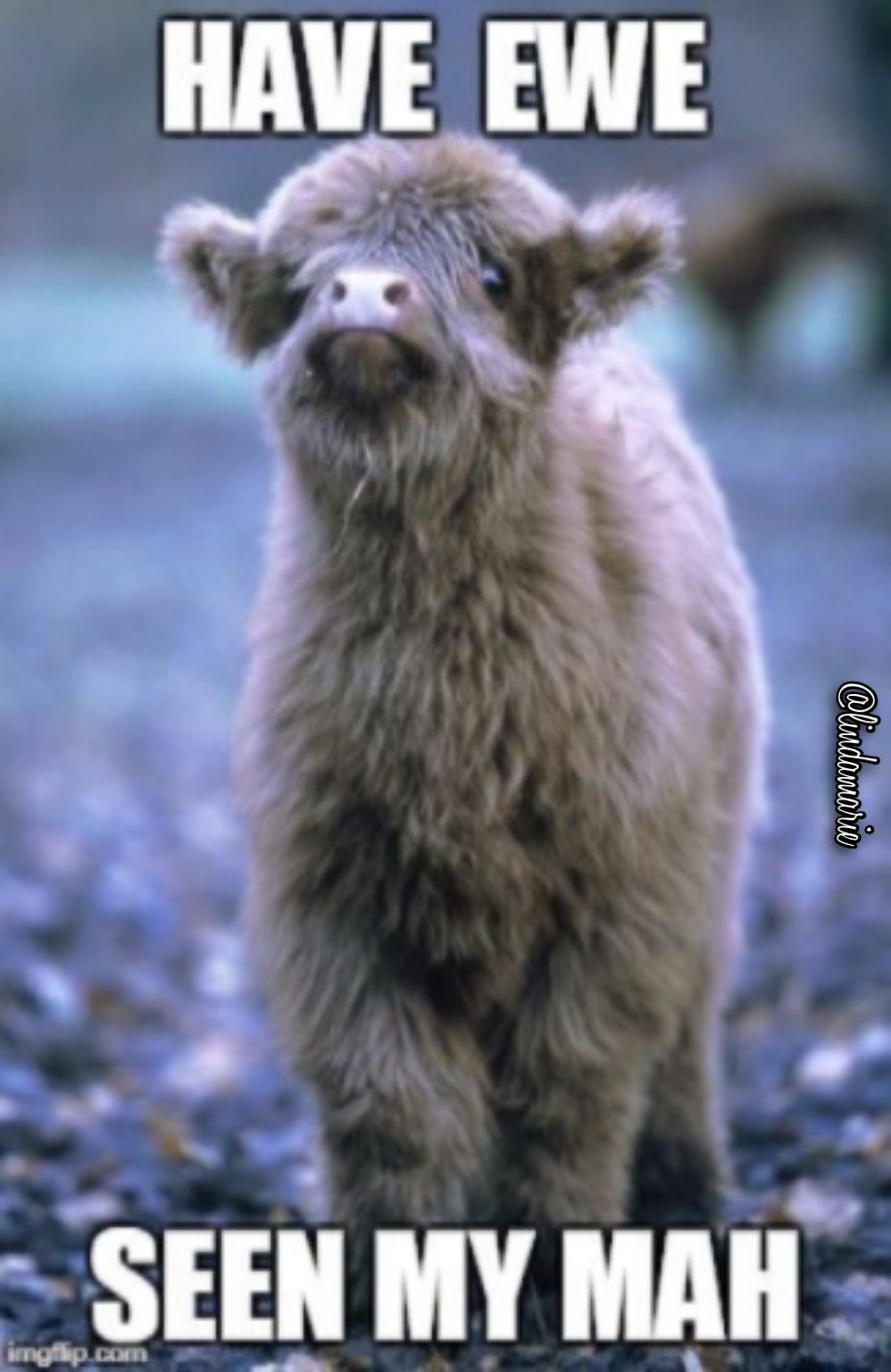 Pin by Linda M Christensen on Highland Coos, they are so