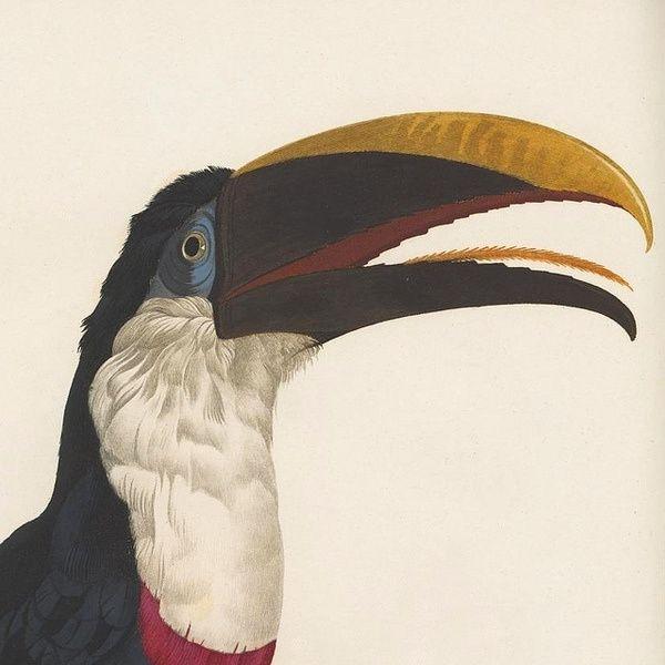 Toucan in Prints