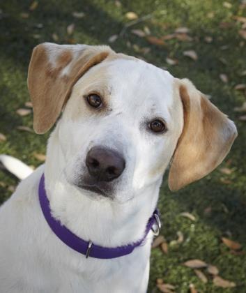 Meet Jerod A Petfinder Adoptable Labrador Retriever Dog Fort Myers Fl Labrador Retriever Dog Fort Labrador Retriever Dog