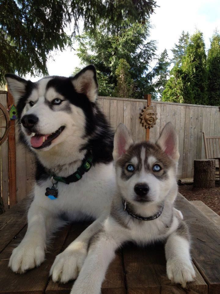 Pin By Gene Price On Beautiful Dogs Husky Husky Puppy