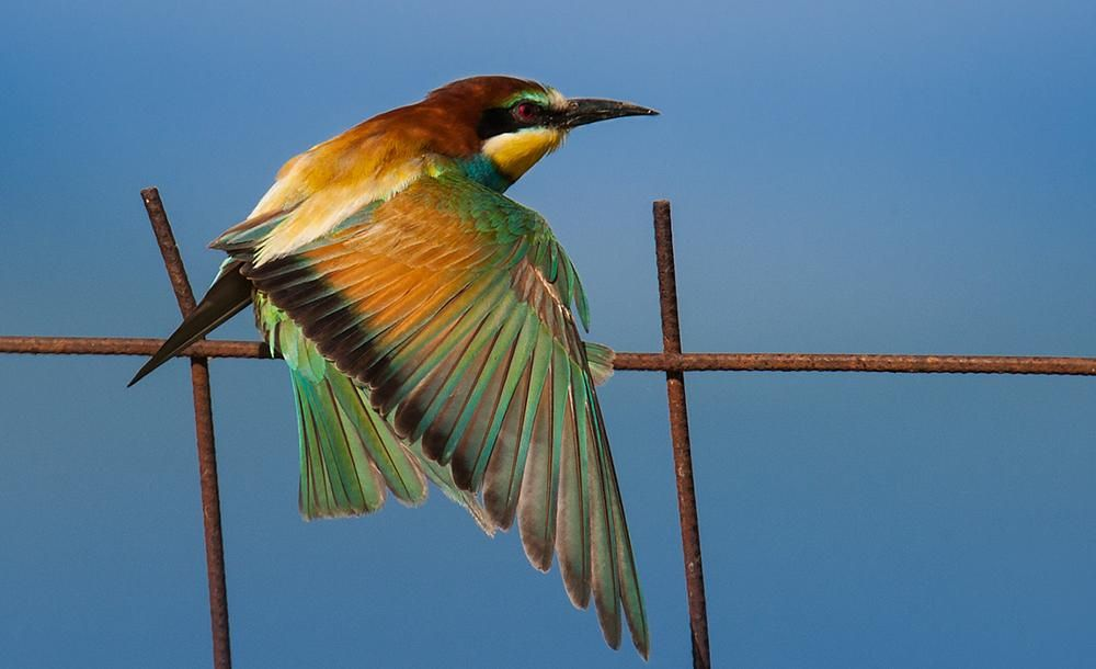 Bee-eater merops apiaster.Free as a bird by Sotiris Siomis