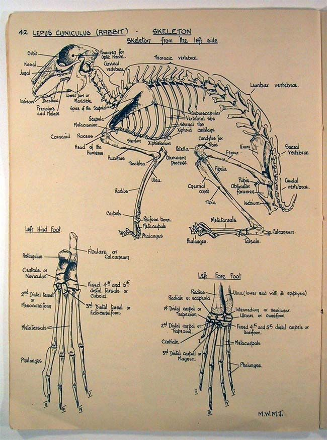 Rabbit skeleton anatomy & osteology reference with forefoot and hind ...