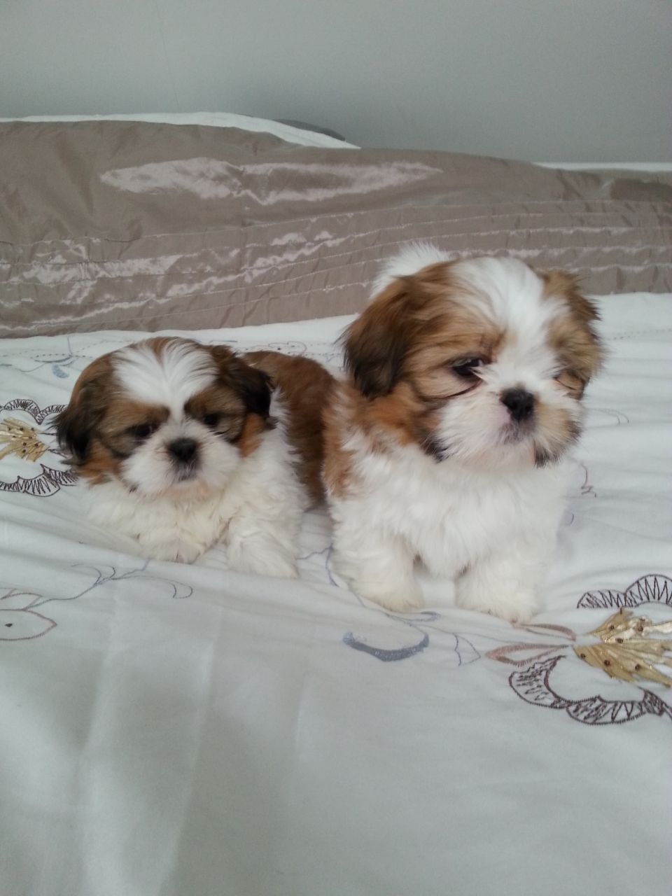 8 Week Old Shih Tzu Puppy Dog Breeds Shih Tzu
