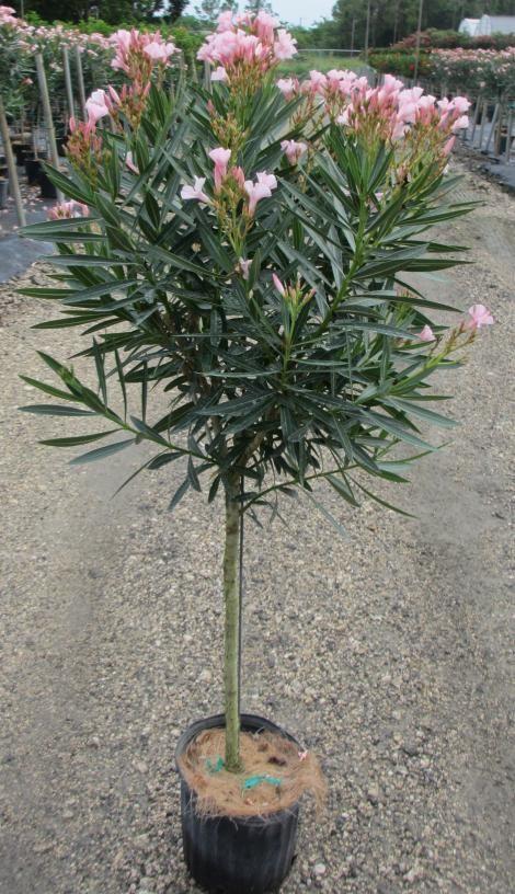 How To Prune Oleander Trees Arizona Gardening Forum