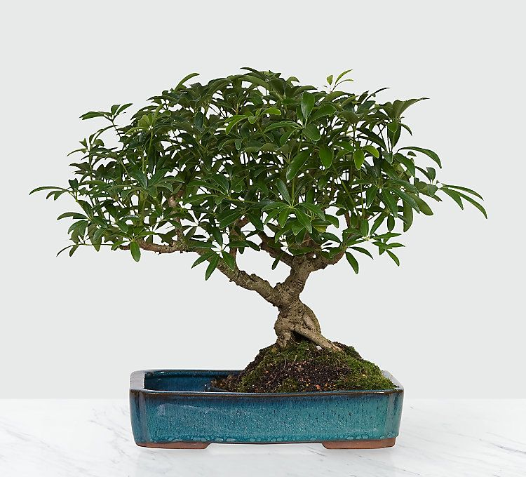 Dwarf Hawaiian Umbrella Tree Image 1 Of 2 Umbrella Tree Bonsai Bonsai Tree