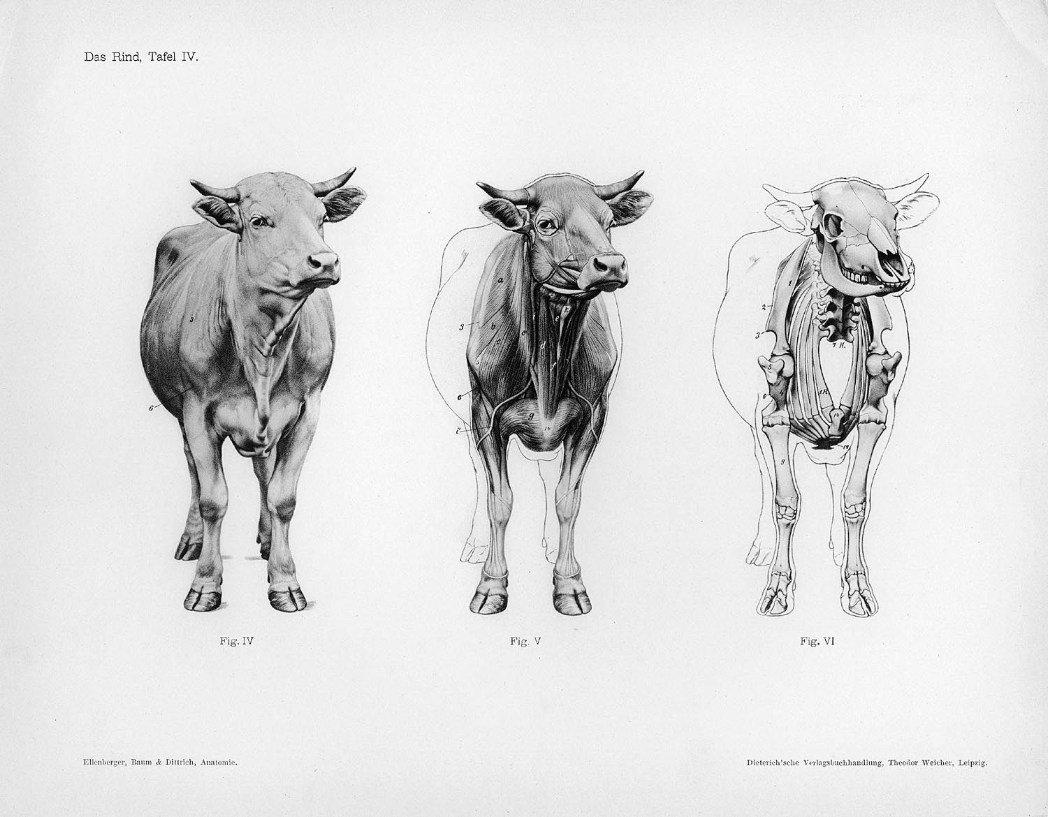 lose yourself in the gorgeous anatomical drawings of hermann dittrich cow skeleton skeleton drawings  [ 1500 x 1170 Pixel ]