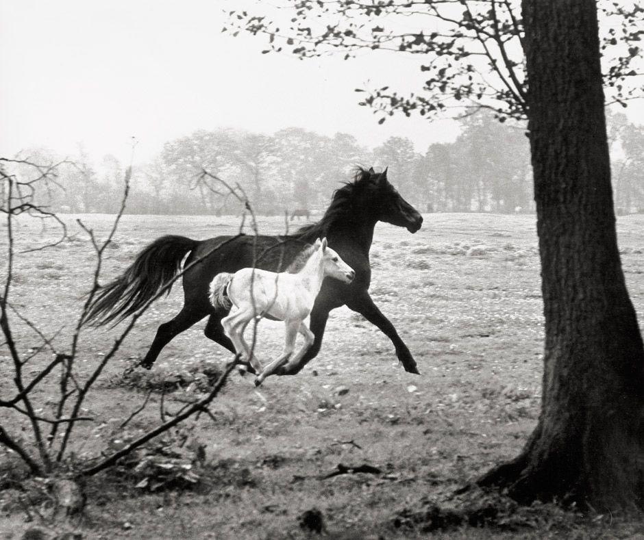 last-picture-show:  Peter Thomann, Stute mit Fohlen, 1963
