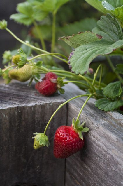 Summer Crops How To Grow Strawberries When To Plant In Cold Winter Climates Plant When The Ground Can Be Worked In Early Spr Edible Garden Strawberry Plants Vegetable Garden