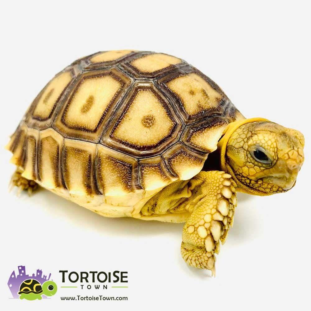 Sulcata Tortoise Sulcata Tortoise For Sale Sulcata Tortoise Tortoise
