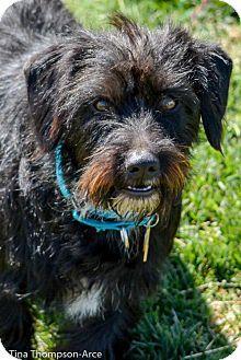 Anaheim Ca Dachshund Scottie Scottish Terrier Mix Meet Grizz