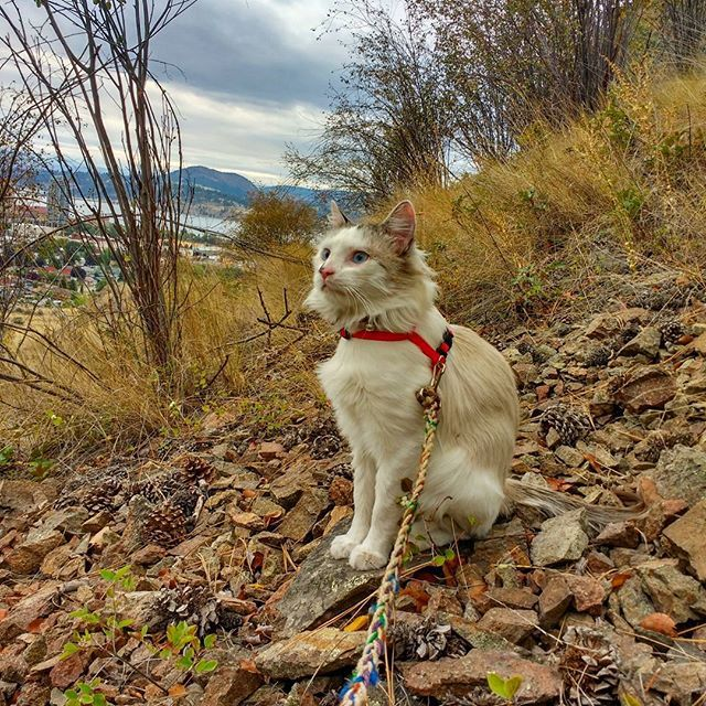 I think maybe my harness is on funny. #adventurecats #scragglelife #catting