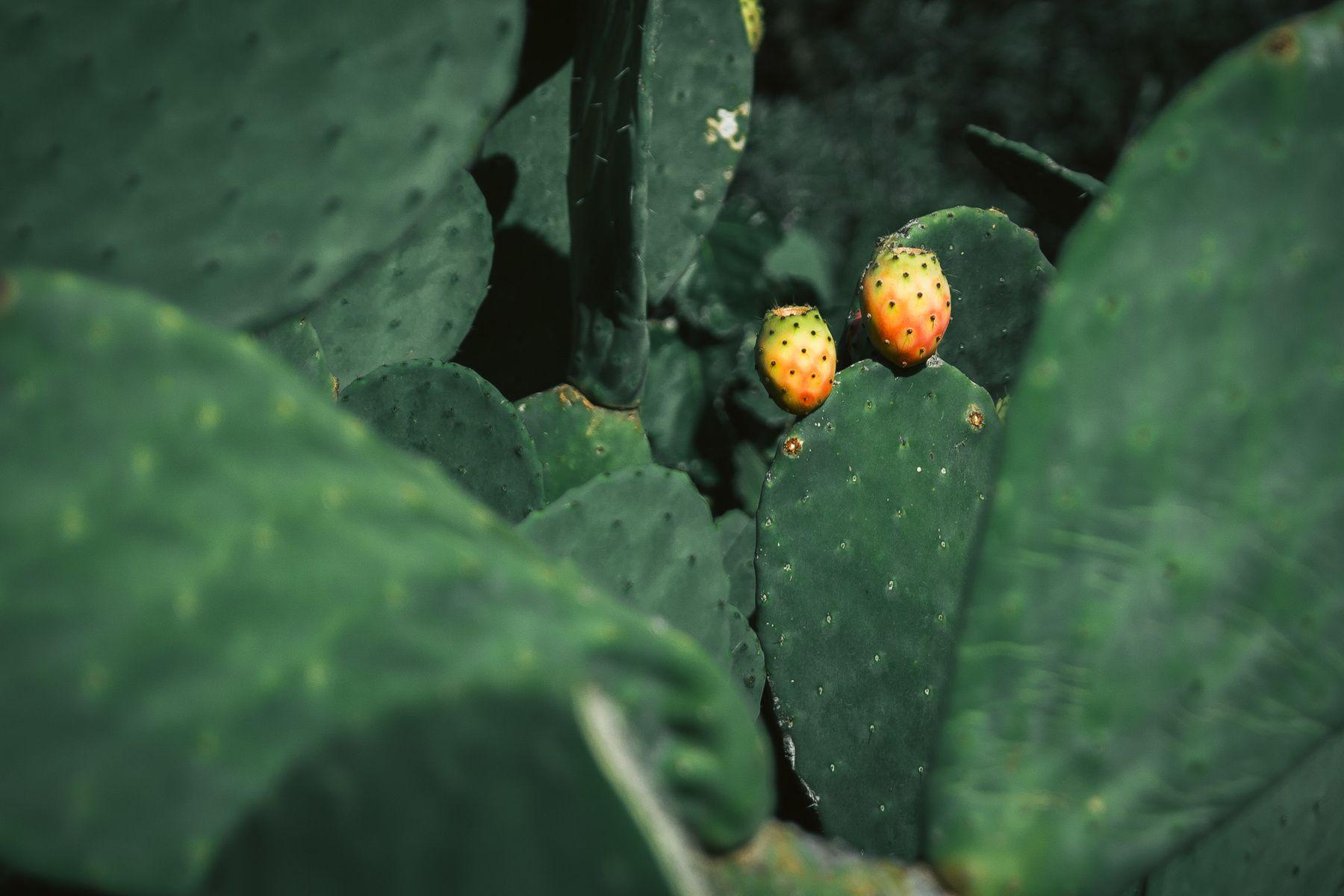 #travel #cactus #fruit #green #rawfood Kalle Lundholm Photography - Favignana, Italy   sept 2013
