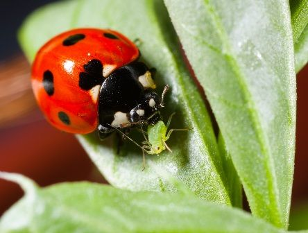 We Love Ladybugs With Images Natural Pest Control Pests Aphids