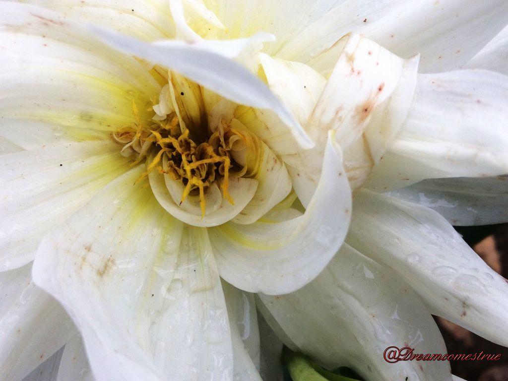 Gambar Setangkai Bunga Dahlia Setangkai Bunga Dahlia Putih Info Seputar Pertanian Gambar Bunga Dahlia Putih Gambar Bunga Penghas Bunga Dahlia Bunga Dahlia