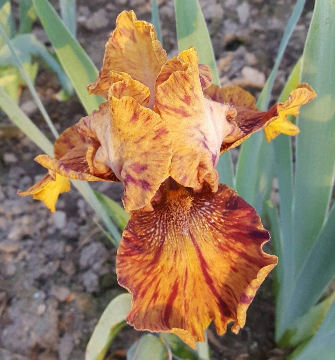 Hot Dogs And Mustard Day Lilies Hardy Plants Orange Flowers