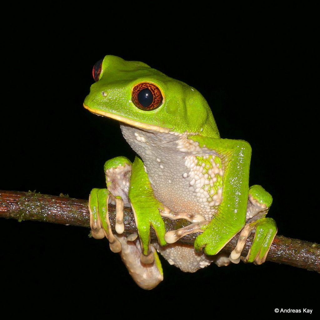 Amazing Frog: Tarsier Leaf Frog, Phyllomedusa Tarsius