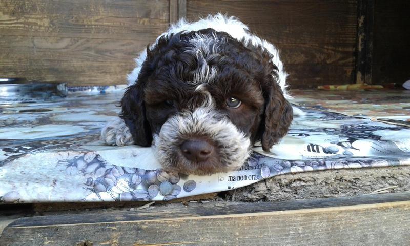 Cute Lagotto Romagnolo Puppy Cuccioli, Animali domestici