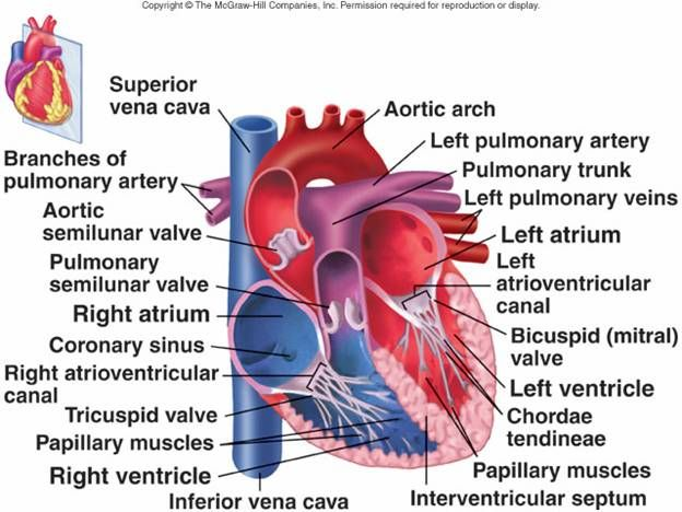 Cardiovascular System I: Heart | Pediatric nurse ...