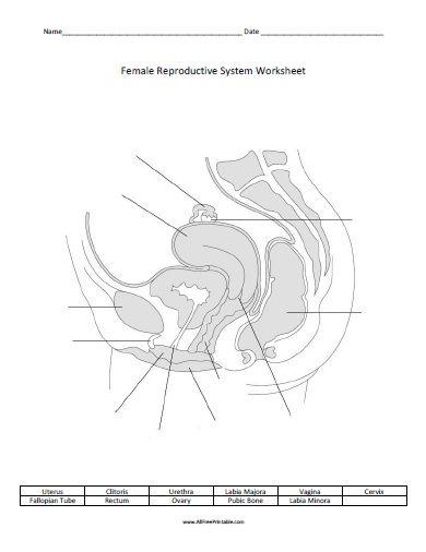Free Printable Female Reproductive System Worksheet Female