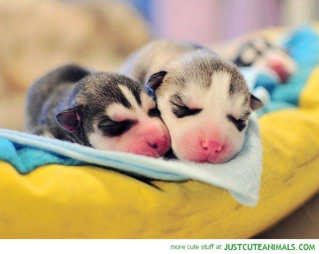 Newborn Husky Pups Husky Puppy Cute Puppies Cute Animals