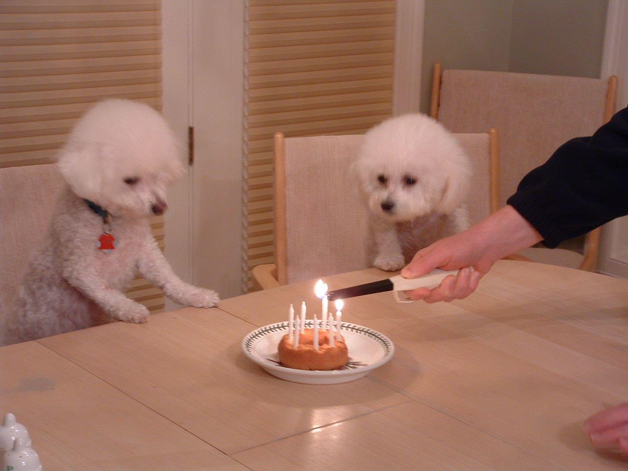 Подаренных открыток, картинка с днем рождения собака бишон