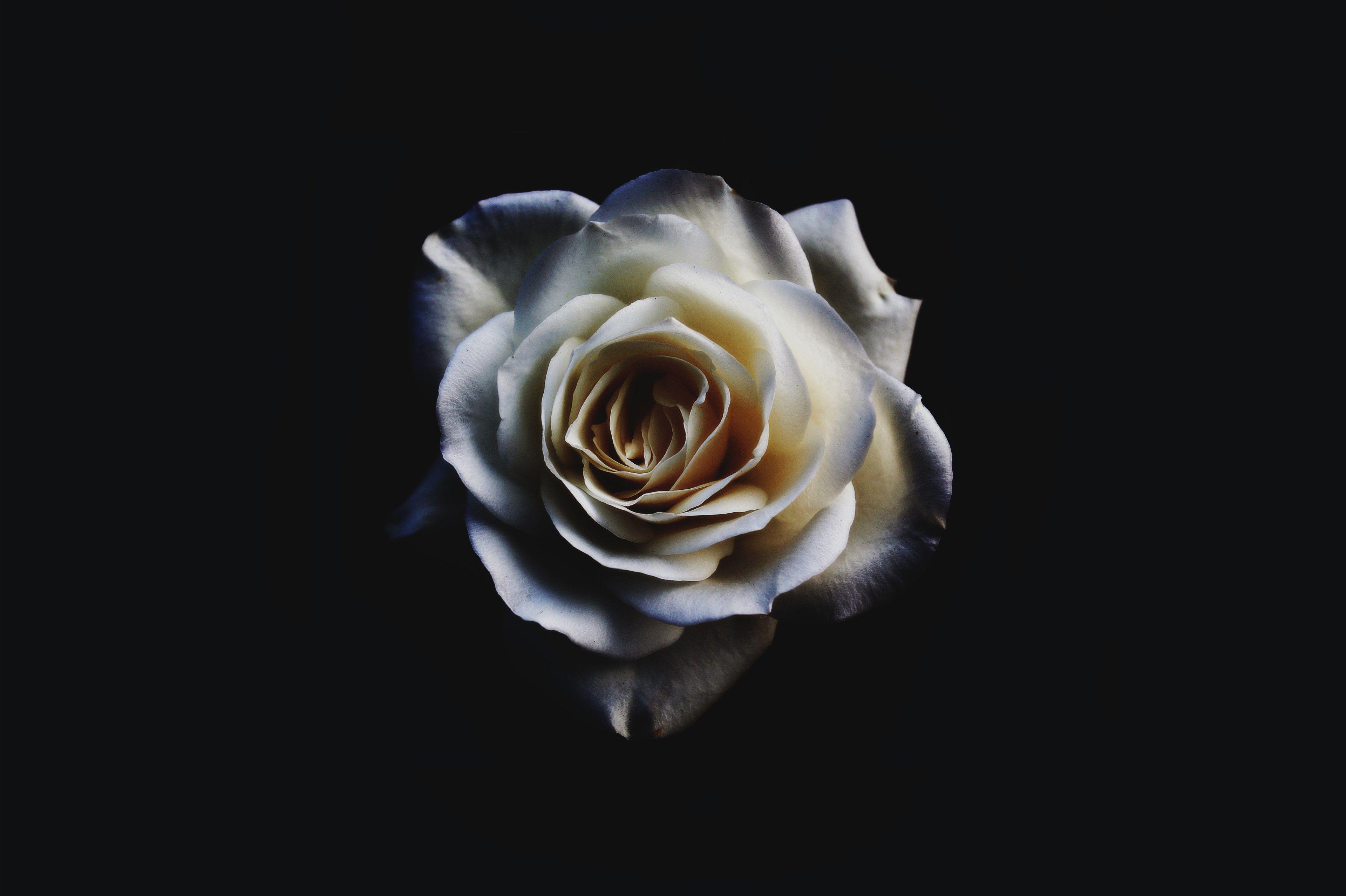 3840x2556 White Rose 4k Wallpaper Background Desktop Computer Rose Rose Wallpaper White Roses High resolution white rose wallpaper hd