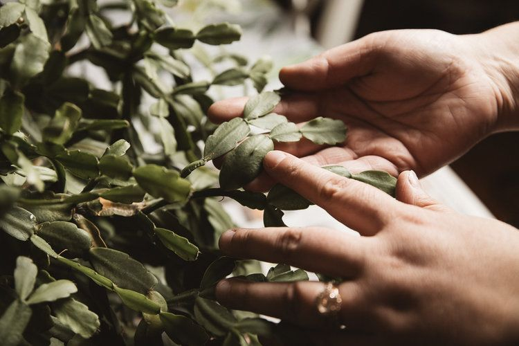 How to repot a christmas cactus the heirloom lady