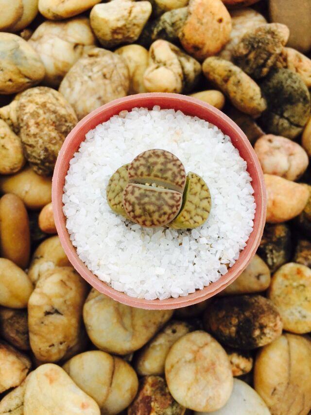 Stone-like plant