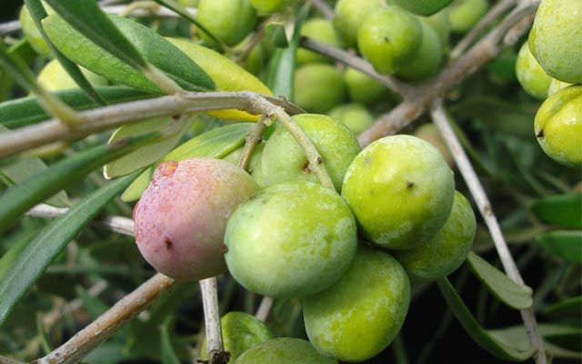 How To Choose Olive Trees Arbequina Olive Tree Olive Tree Drought Resistant Trees