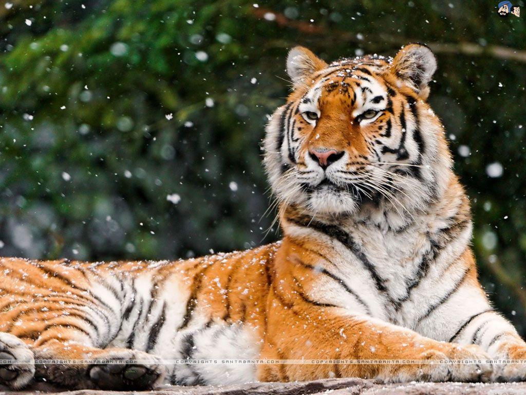 Images Of Tigers Tigers 1024x768 Wallpaper 24 Tigers