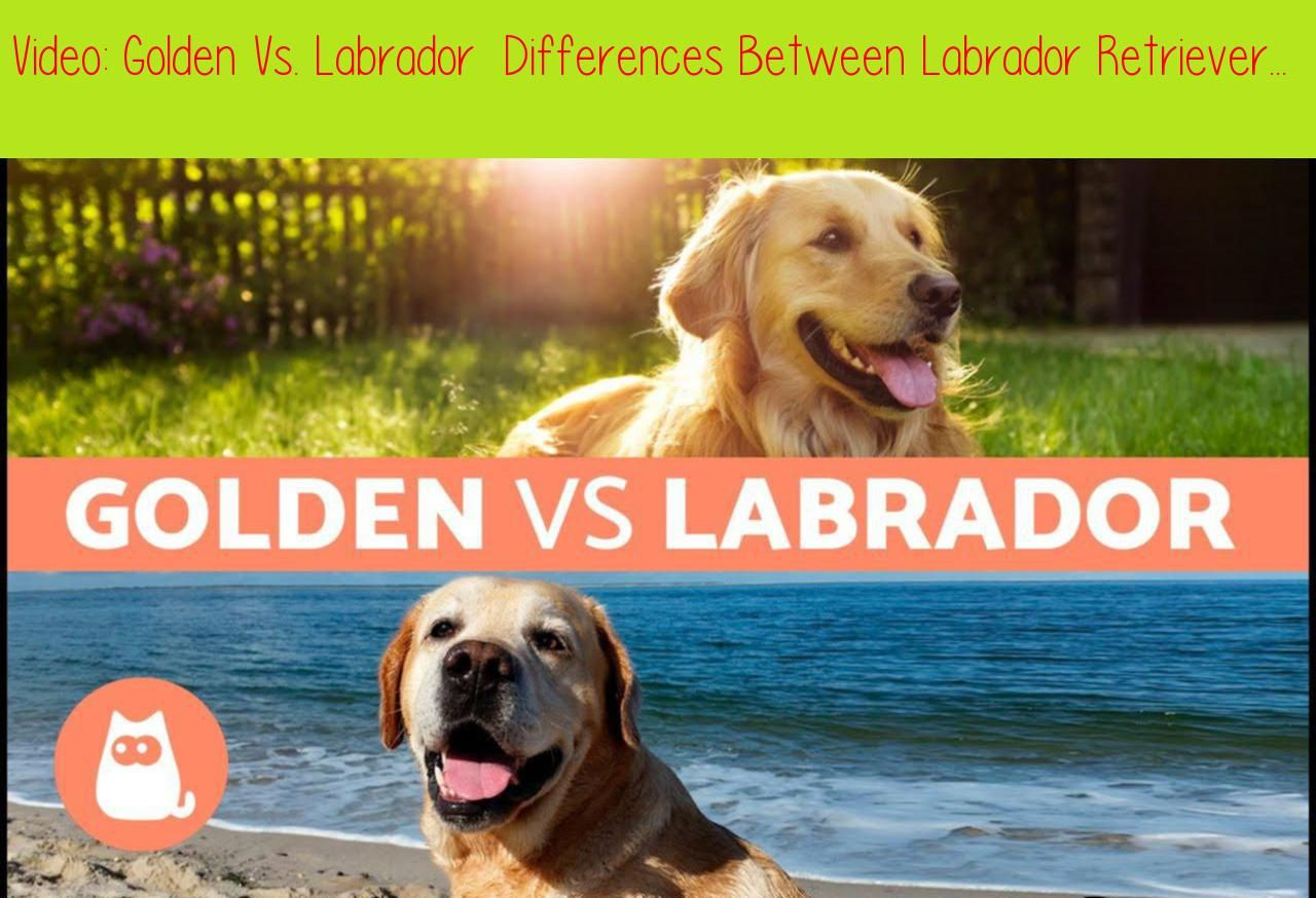 Golden Vs Labrador Differences Between Labrador Retriever And