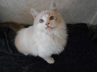 Vanillabelle Ragdolls New York Ragdoll Kittens For Sale Ny