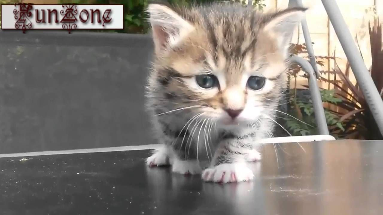 Cats & Kittens Meowing Loudly (With images) Cute kitten gif