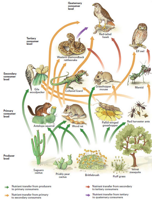 This is a desert food chain. As you can see, the food cha