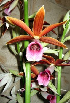 Full size picture of Species Orchid, Nun's Orchid, Nun's Cap ...