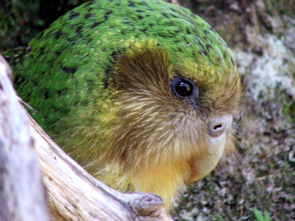 Kakapo Sinbad