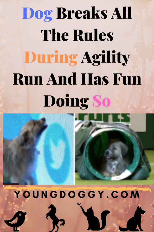 Dog Breaks All The Rules During Agility Run And Has Fun