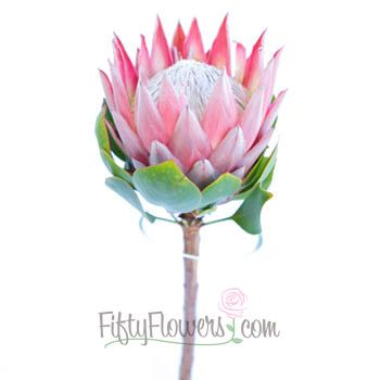 King Protea Flower Fiftyflowers Com Protea Flower Flower Drawing Flower Bouquet Wedding