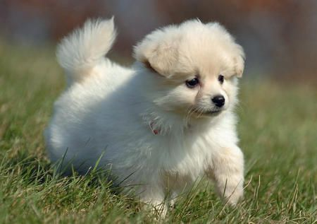 White Pomeranian So Cute Pomeranian Puppy Puppies Pets