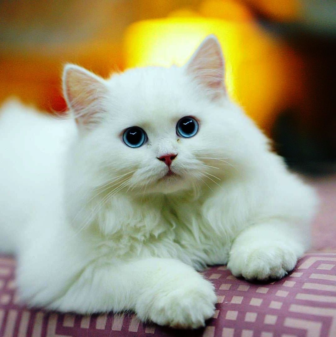 Dude I M Not Your Pillow Cute Cats Albino Cat Pretty Cats