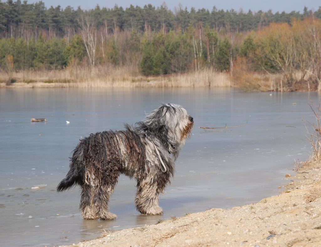 Variationen Und Moglichkeiten Der Fellpflege Bergamasker Hirtenhund